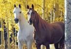 cavalliok